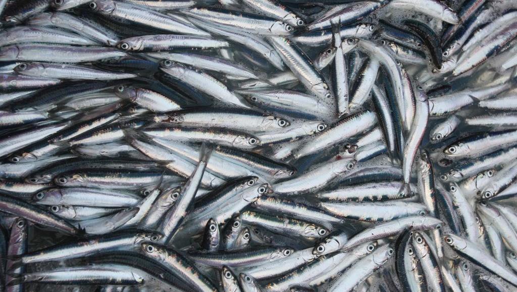 Razpisanih je dobrega pol milijona podpor za akvakulturo