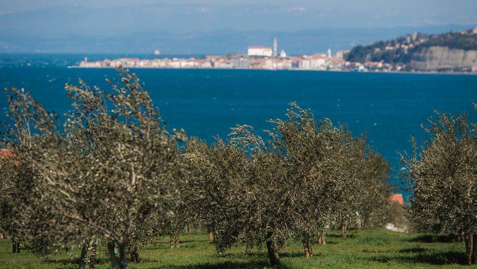(video) Kje sta in kako poslujeta največja slovenska oljkarja