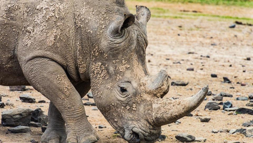 Nesmiselne vrtoglave cene rogov ubijajo nosoroge