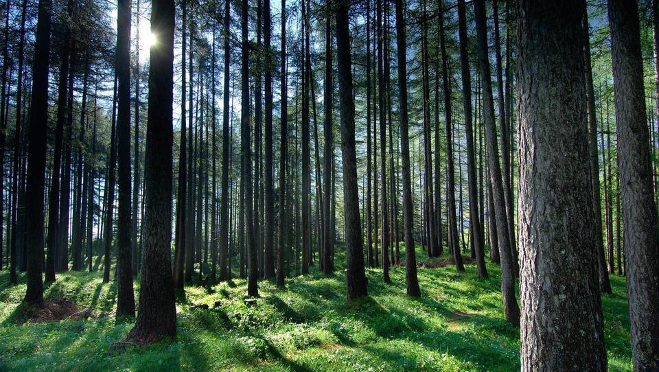 Slovenski žagarji bodo do februarja brez lesa iz državnih gozdov