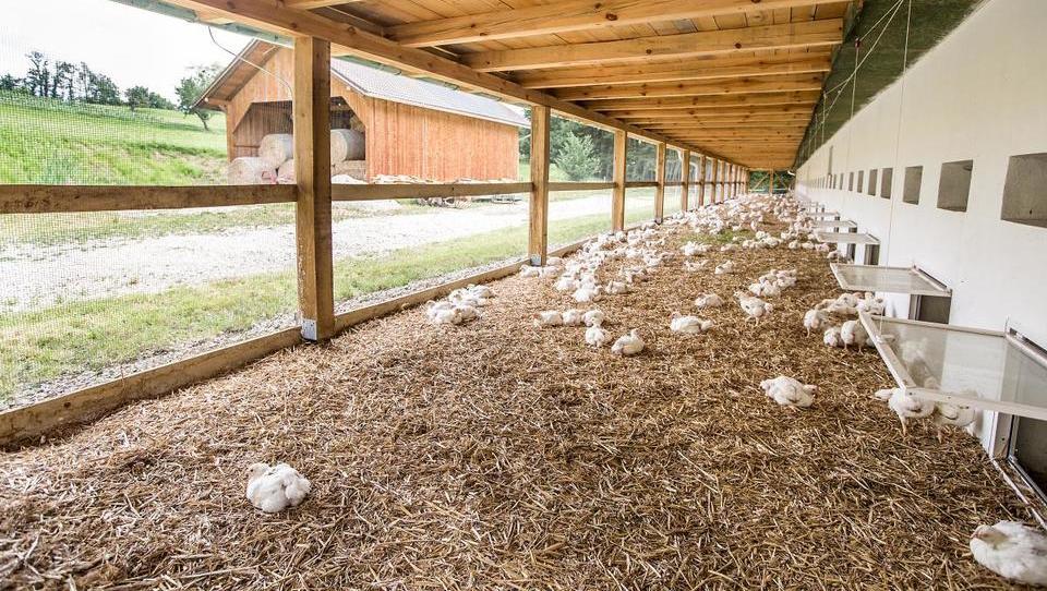 Ptujski piščanci iz živalim prijazne reje navdušujejo švicarske gospodinje