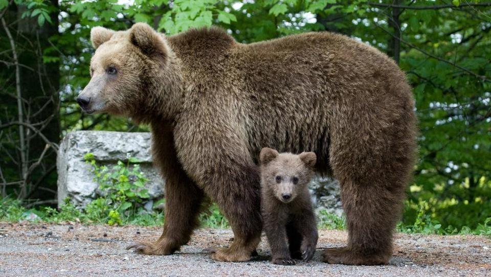 Ena zares 'lovska': Zaradi vetrnic bo medved pritisnil na naselja