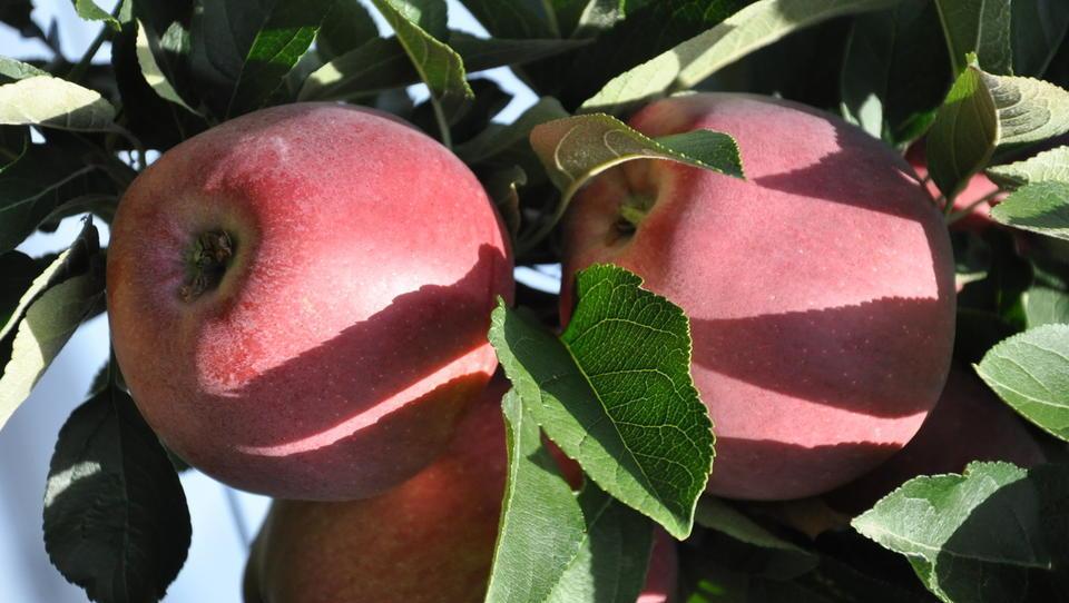 Kako sadjarji po lanski pozebi spreminjajo svoj poslovni model